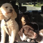 photo - dogs on their way to a walk