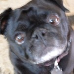 photo - pet sitting pug
