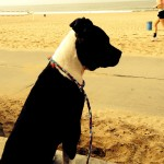 photo - dog walking at the beach