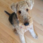 photo - pet sitting airedale dog